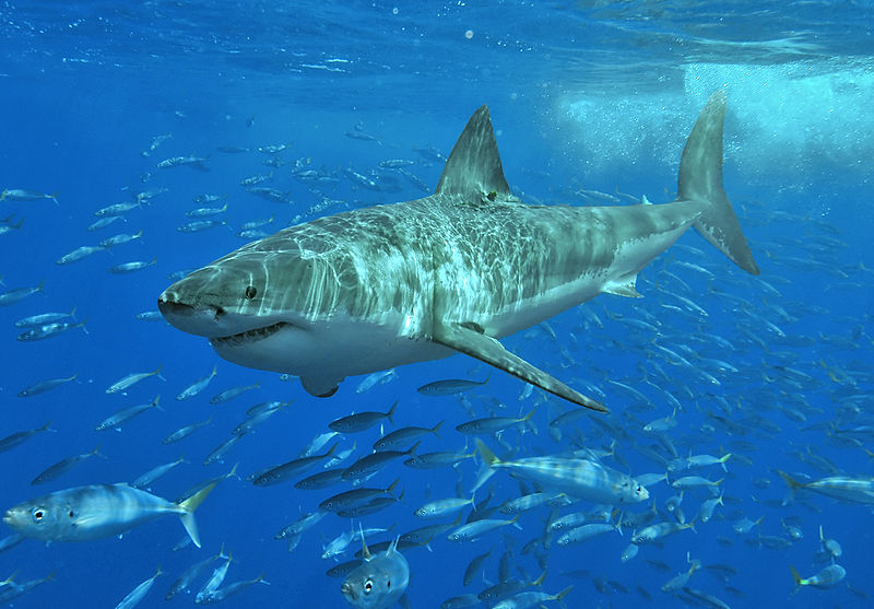 Great white shark at Isla Guadalupe, Mexico, August 2006. Photo by Terry Goss.